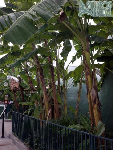 The plantain trees have been trimmed by Gertie's, all of the plantains are gone